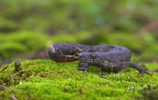 Great crested newt licensing