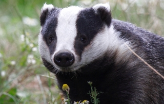 LUC Ecologist Granted New SNH Badger Licence